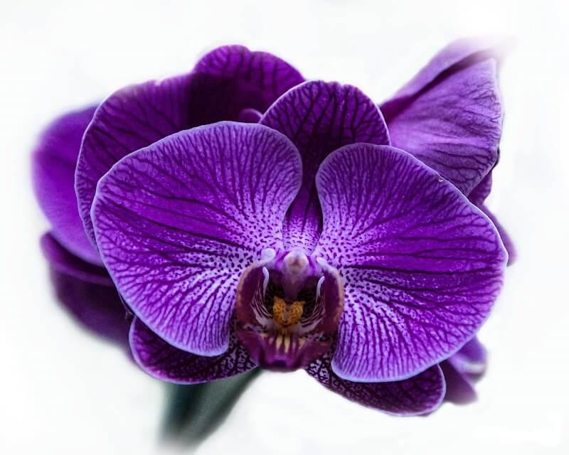 hình ảnh hoa phong lan tím đẹp
