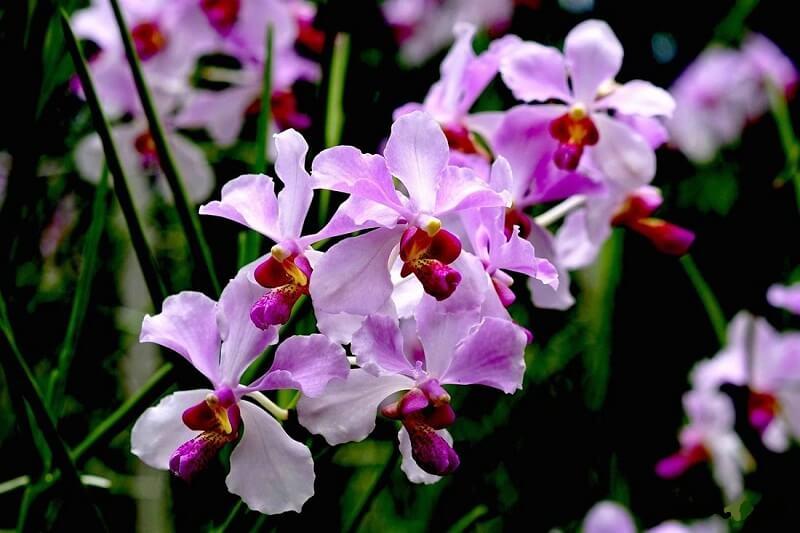 hoa phong lan tím là biểu trưng của nước nào