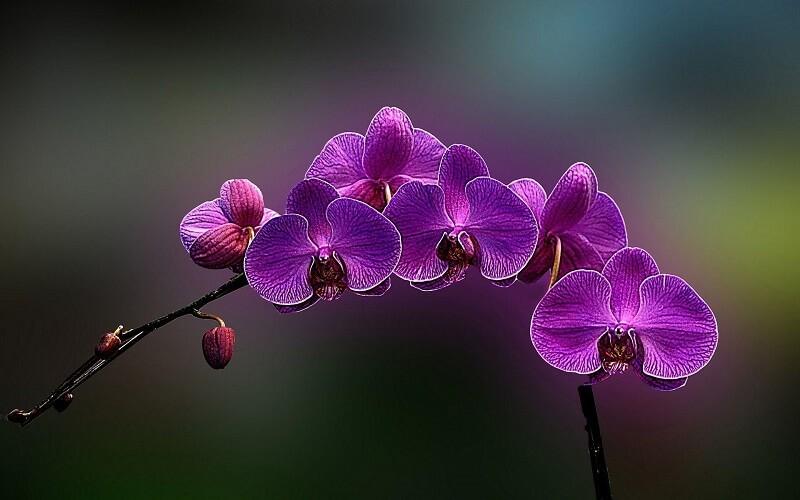 ý nghĩa của hoa phong lan tím