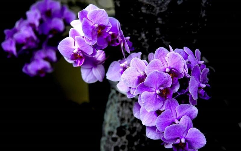 hoa phong lan tím ở nhật
