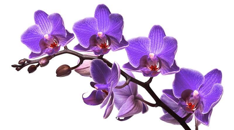 hoa phong lan tím ở nước nào