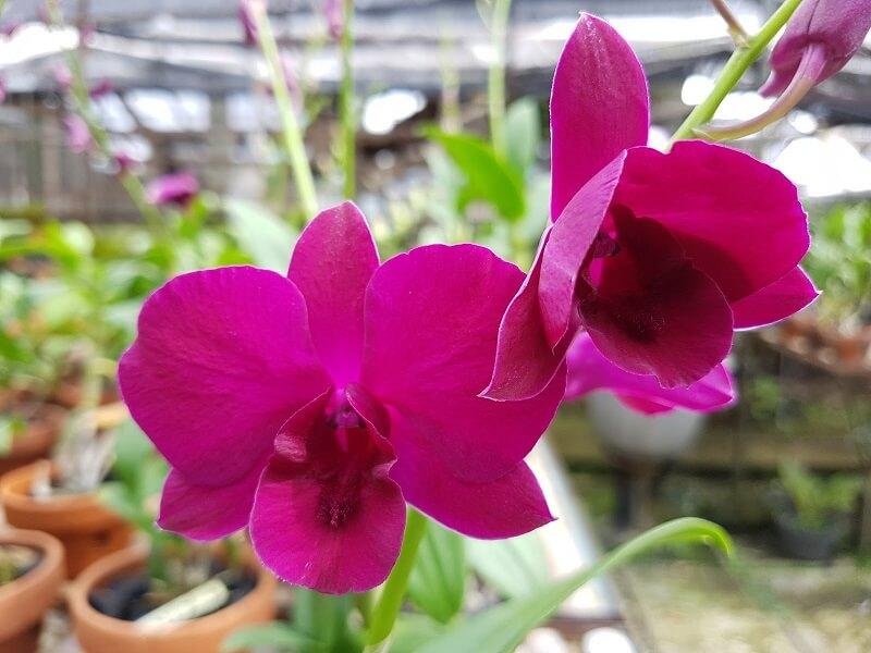 khi nào phong lan tím ra hoa
